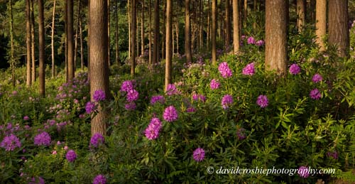 Bere Wood, Rhododendrons