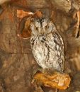 African Scops Owl