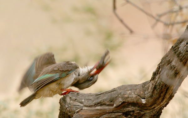 Brown-Hooded  Kingfisher killing terrapin