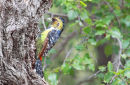 Crested Barbet