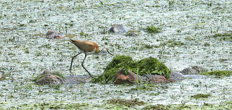 African Jacana on a hippo
