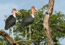 Marabou Storks