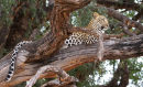 Leopards Cubs