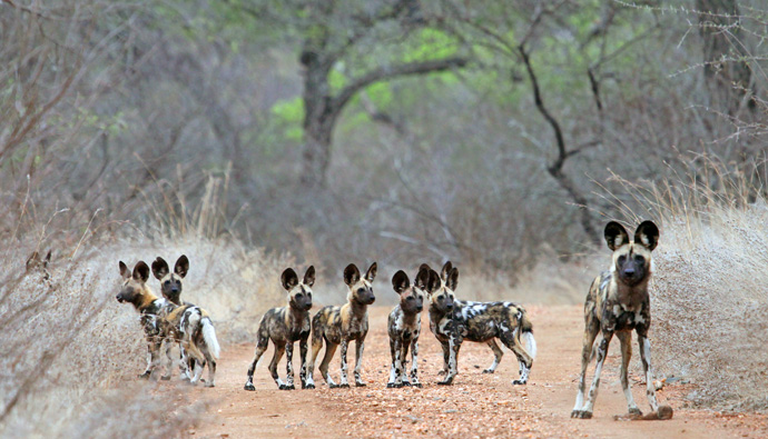 8 Wild Dog puppies born on Khaya Ndlovu