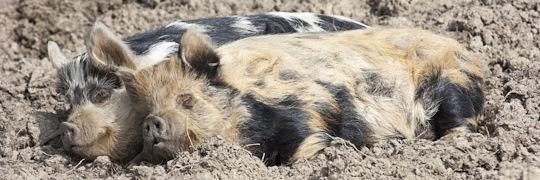 Hever Pigs