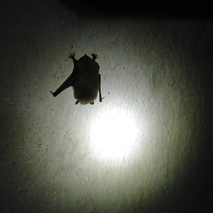 Modlin Bat