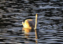 Canada goose at dusk