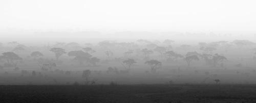Trees at dawn, Amboseli, Kenya