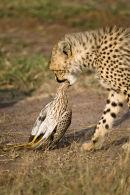 Cheetah Cub with prey