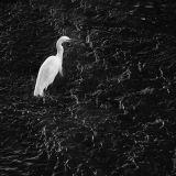 Snowy Egret - 2