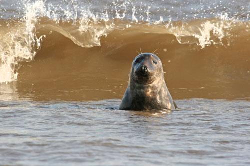 Atlantic Gray Seal (Halichoerus Grypus)