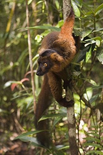 Black Brown Lemur Hybrid