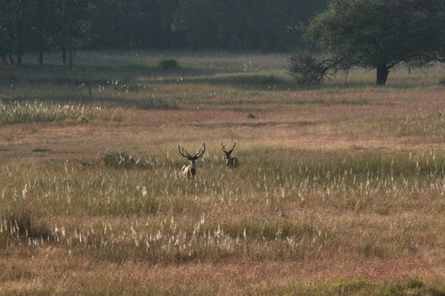 Chital or Spotted Deer (Cervus Axis)