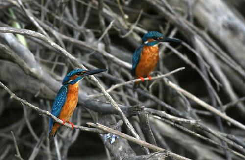 Common Kingfishers