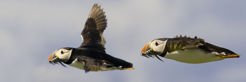 Formation Puffins