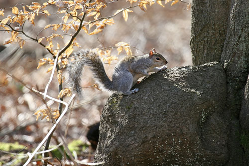 American Gray Squirrel (Sciurus Carolinensis)