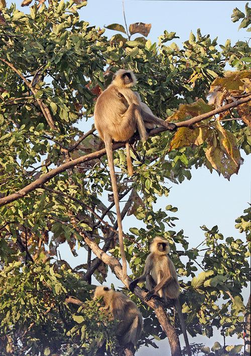 Hanuman Langur or common langur (Presbytis entellus)