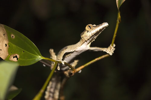 Leaf-tailed or Fringed Gecko (Uroplatus fimbriatus)