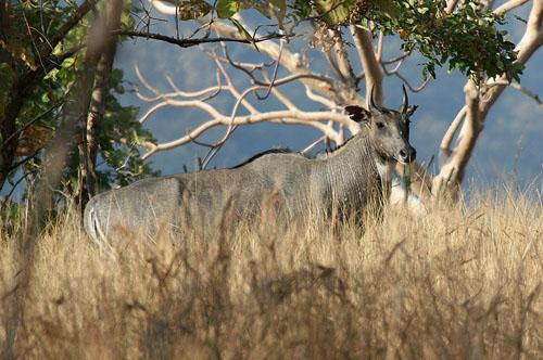 Nilgai, or Blue Buck (Boselaphus Tragocamelus)