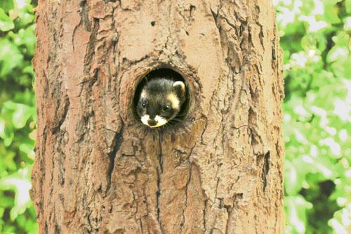 Mustela Putorious Furo, Polecat ferret emerging