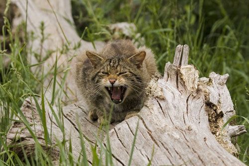 Scottish Wildcat (Felis Sylvestris)