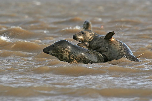 Juvenile gray seals