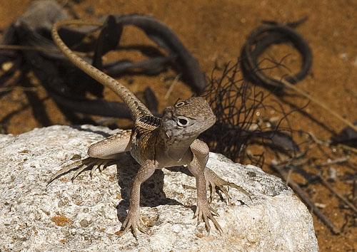 Three-Eyed Gecko, Madagascar