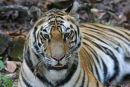 Three year old tigress