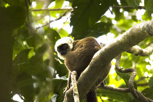 White Fronted Brown Lemur (Eulemur albifrons)