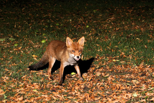 Young Fox in Orchard