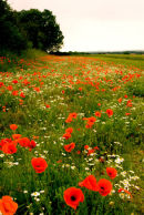 Poppy field Norfolk
