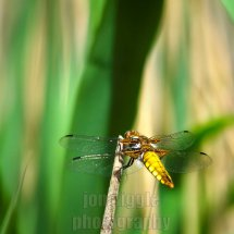 Four Spotted Chaser Leighton Moss