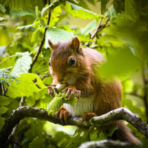 Red Squirrel