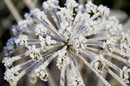 Frost covered Cow Parsley