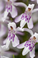 Close Up of a Spotted Orchid.