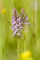 Early Spotted Orchids.