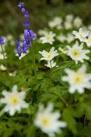 Wood Anemones & Bluebells.
