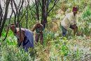 Clearing alien invasive plants