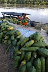 Papayas being unloaded at river port