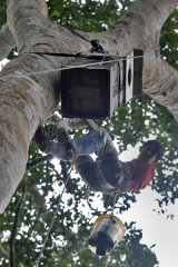 Researcher lowering macaw chick from artificial nest