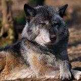 European Timber Wolf