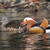 Mr and Mrs Mandarin Duck