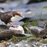 Dipper With Fledgling Begging For Food.