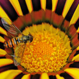Hoverfly on Gazania