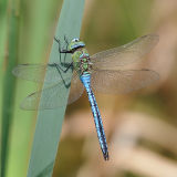 Emperor Dragonfly (Male)