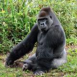 Lowland Gorilla Silverback