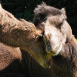 Bactrian Camel Mother and Baby