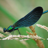 Male Beautiful Demoiselle