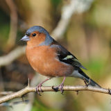Chaffinch in all his Spring Finery!