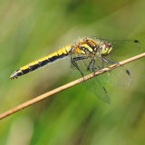 Female Black Darter